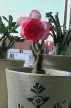 2pcs Very Admorable Adenium Light Pink & Rose Red Petals Flower Seeds IMA1 - $14.94