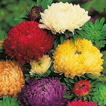 50 Seeds Aster Duchesse Mix Annual - $19.60