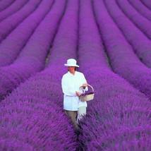 200 PCS / bag French Provence Lavender Seeds Fragrant Organic Lavender S... - $2.18