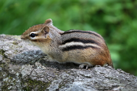 Chipmunk 13 x 19 Unmatted Photograph - $35.00