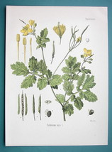 ROCK POPPY Medicinal Plant Chelidonium Majus - Beautiful COLOR Botanical... - $16.83