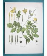 ROCK POPPY Medicinal Plant Chelidonium Majus - Beautiful COLOR Botanical... - $16.83