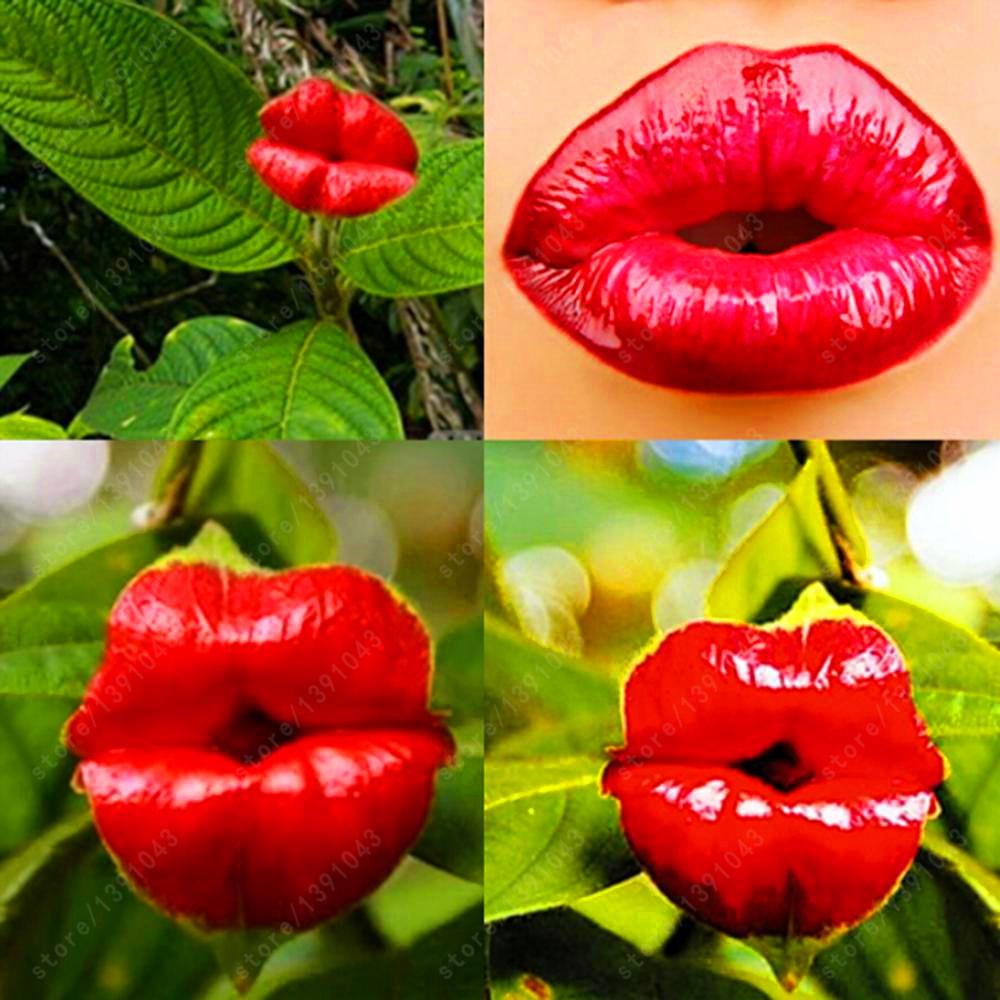 Red Lips Flower Seeds Rare Flower Pots Psychotria Elata Flower Seeds 100pcs/bag