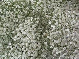 Non GMO Bulk Baby's Breath Flower Seeds - Gypsophila elegans (5 Lbs) - $75.19