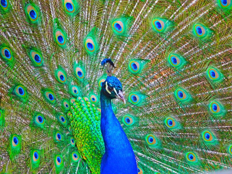 Primary image for PEACOCK CONFIDENCE SPELL *DIRECT SPELL-CASTING* CAST WITHIN 24 HOURS SELF ESTEEM