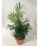 "Victorian Parlor Palm Live House or Office Plant 3"" Terracotta Pot FREE ... - $15.00"