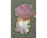 Iris2sized thumb155 crop