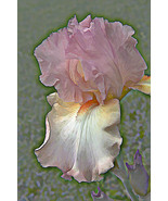 Iris, Photo Based Digital Art size 11x14, lavender, purple,  - $30.00