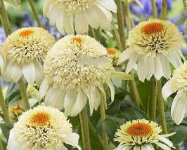 200pcs Echinacea Milky White Perennial Flower Seeds yellow centre coneflower - $16.97