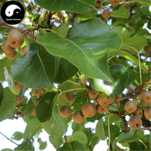 Buy Bean Pear Fruit Tree Seeds 120pcs Plant Callery Pear For Wild Fruit ... - $9.99