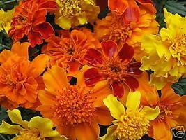 100 Pcs Mixed Marigold Seeds, Farm Mix, French Marigolds, Non-Gmo Heirlo... - $13.99