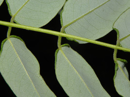 Dried Gliricidia sepium - Fabaceae ( Fence stake) __ 4 oz image 2