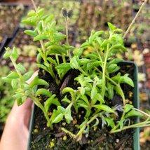 String of Dolphins Senecio peregrinus Succulent Plant 4 inch Green Garde... - $27.03