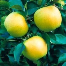 1 Bare Root of Yellow Delicious Apple Tree 4-5' - $87.12