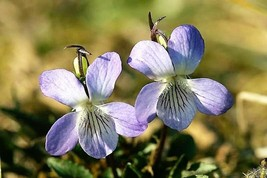 100 Pcs Purple Viola Prairie Flower Seeds #MNSB - $14.99