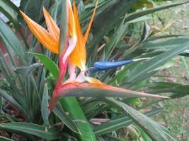 Gardening - Strelitzia reginae Dwarf Bird of Paradise 10 Seeds - tgi - $93.95