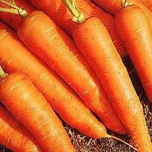 Carrot Early Nantes Approximately 100 seeds - $2.38