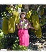 2pack 10 Pcs Fresh Jackfruit Seeds Tropical Giant Novel Tree Seeds Rare ... - $12.50