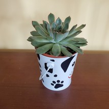 """Echeveria Succulent in Tin Bucket with Dog Face, 4"""" live plant in animal planter image 4"""