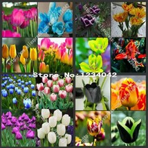 200 PC Mix high-grade plant tulip seeds, variety color - $4.50