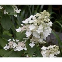 Flowering Shrub Tardiva Hydrangea Established 1 Plant in 1 Gallon - $58.99