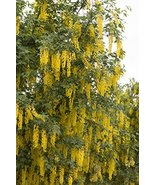 """24-36"""" Live Potted - Golden Chain Tree Laburnum anagyroides - $37.62"""