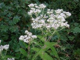 Organic American Boneset, Eupatorium perfoliatum, Pollinator Favorite - $3.75