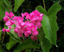 SHIP From US, 50 Seeds Coral Vine - Queen Anns Wreath, DIY Home Garden AM - $45.99