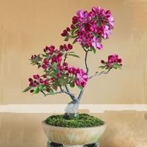 10 Seed Dark Red Apple Flowering Plant, DIY Beautiful Tree DO - $8.99