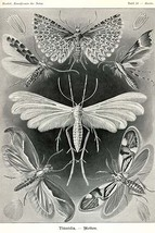Moths -Tineida by Ernst Haekel - Art Print - $19.99+
