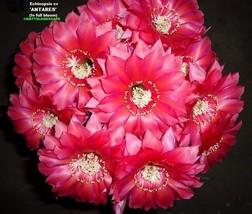 Echinopsis,Hybrid, 'ANTARES' ,Plant,Cactus,NO,Trichocereus,Lobivia  - $24.90