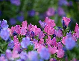 15 Viper's Bugloss (Echium) Rose Seeds - $9.50