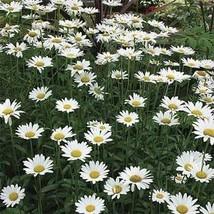 Daisy Seeds, Alaskan Shasta Daisy Seeds, FREE SHIPPING, Rabbit Rescue Donation - $2.50