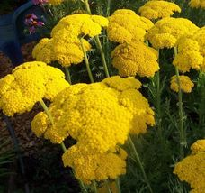 1000 Gold yarrow Achillea Filipendulina seeds *Cottage gardens* - $5.95