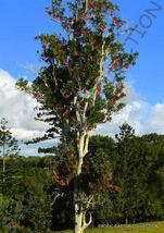 Exotic Stenocarpus Sinuatus Firewheel Tree @@ Rare Flowering Trees Seed 5 Seeds - $18.00