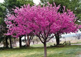 Eastern Red Bud quart pot (Cercis canadensis) image 4