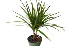 """Dracaena 'Marginata Cane' - Live Plant - FREE Care Guide - 4"""" Pot - $25.99"""