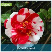 10PCS Camellia Seed Flower Seeds Bonsai Plants For Home Garden Beautiful... - $4.76