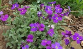 100 Pcs Seeds  Whitewell Rock Cress Aubrieta Flower -  RK - $6.00