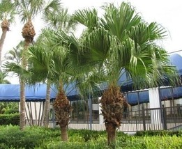 1 Rooted of Livistonia Chinensis - $51.48