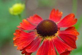 Helenium 'Moerheim Beauty' sneezeweed (1 Plant) Attracts Birds & Butterf... - $30.53