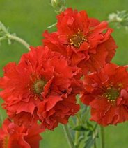 Geum Seeds -Avens AKA Mrs. Bradshaw,100 SEEDS,BRIGHT RED Perennial flowe... - $12.25