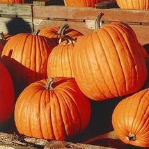 Pumpkin Connecticut Field Vegetable Seeds (Cucurbita pepo) 30 Seeds - $11.99