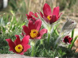 Ship From 10 Red Anemone Pulsatilla Vulgaris Pasque Flower SBR4 - $11.99