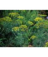 DILL ESSENTIAL OIL 1/2 oz - $6.50