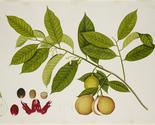 Nutmeg lg thumb155 crop