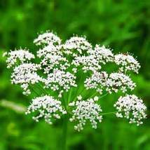 ANISE SEED ESSENTIAL OIL 1/2 oz - $6.00