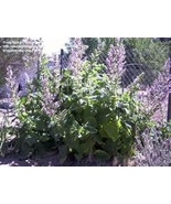 CLARY SAGE ESSENTIAL OIL 1/2 oz - $7.75