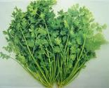 Coriander thumb155 crop