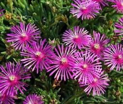 1000pcs Very Cute Fresh Seeds Delosperma Ice Plant #TLM1 - $33.99
